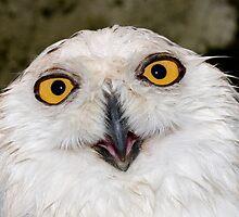 Snowy Owl by krasser