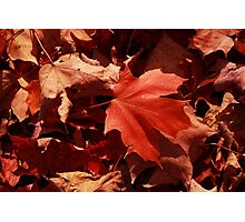 Bright Red Autumn Leaves  Photographic Print