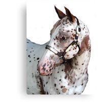 Appaloosa Yearling Horse Portrait Canvas Print