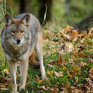 Dangerous Coyote by Gisele Bedard