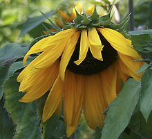 sunflower by axieflics
