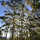 Sunlit gums, Blue Mountains by bevanimage