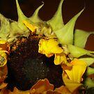 Sun Flower Burst by A L G O