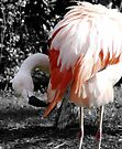 preening flamingo by tego53