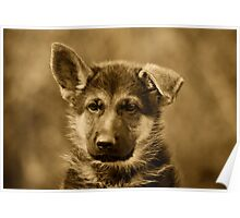 German Shepherd Puppy II Poster