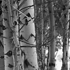 Aspens by Jennifer Suttle