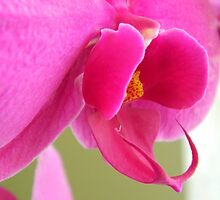 Pink Orchid by flowers2love