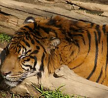 Tiger in Sleep by min1972