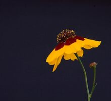 Yellow Flower with Stem on a Black Background - Aster Family by Buckwhite