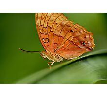 Cruiser Butterfly Photographic Print