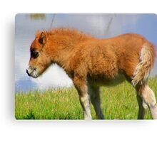 Shetland Pony Foal Canvas Print
