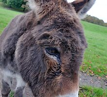 Donkey by Andrew Cryer