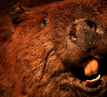 Closeup of a Beaver by terrebo