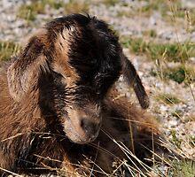 New born goat kid by Andrew Jones