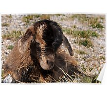 New born goat kid Poster