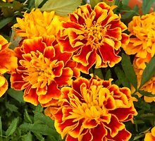 Marigolds in Springtime by flowers2love