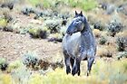 The Watchful Eye - Wild Blue Roan Stallion by A.M. Ruttle