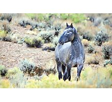 The Watchful Eye - Wild Blue Roan Stallion Photographic Print