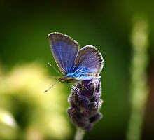 Blue Butterfly by Kristina K