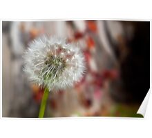 Softness of a Dandelion Poster