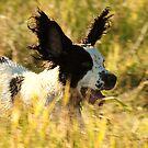 springer ears by Alan Mattison