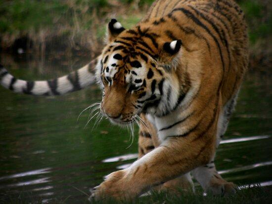 Tiger Tiger by Sean Jansen
