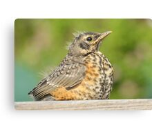 Baby Robin Canvas Print
