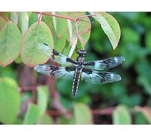 Dragonfly Resting on Katsura Tree Photographic Print