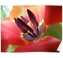 Tulip....as is Poster