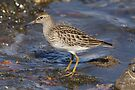 Pectoral Sandpiper by Todd Weeks