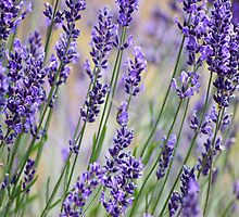 Lavender Patch by Kristina K