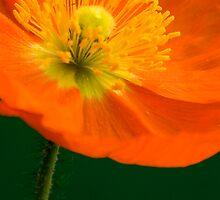 Happy Poppy by picketty