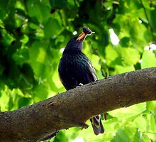 STARLING IN A MULBERRY TREE by Sandra  Aguirre