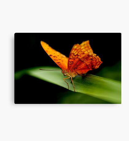 Cruiser Butterfly II Canvas Print