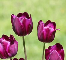 Fuschia Tulips by hummingbirds