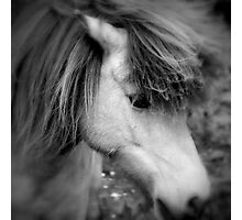 """Manadis"" - Icelandic Horse Photographic Print"