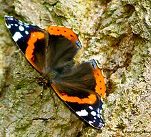 Red Admiral by David's Photoshop