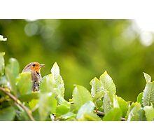 Nesting Robin Photographic Print