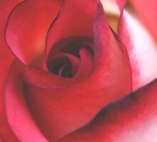 Soft Rose by Candy Gemmill