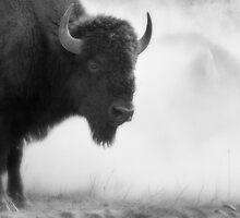 Bison in the Dust, Montana. USA. by PhotosEcosse