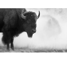 Bison in the Dust, Montana. USA. Photographic Print