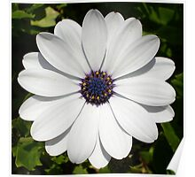 Beautiful Blossoming White Osteospermum Poster