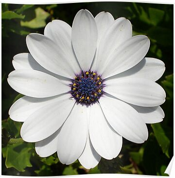 White Daisy Macro by taiche