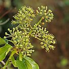 Hedera colchica - Arborescens by Robert Abraham