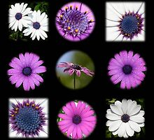 African Daisy Collage on Black by taiche