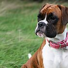Regal Boxer by boxerportraits