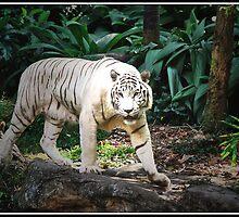 White Tiger by Adri  Padmos