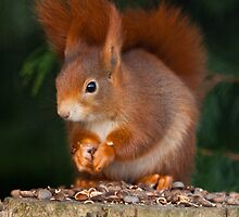 Red Squirrel by Dave  Knowles
