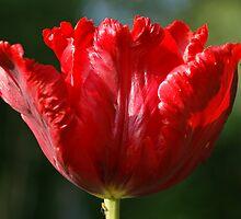 Red Tulip by Lindie Allen