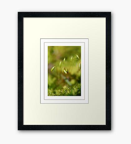Moss sporangia Framed Print